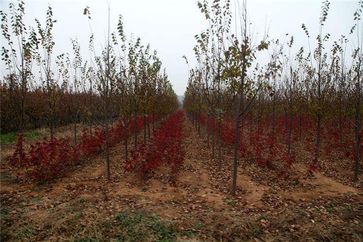 盛世绿源椴树、小红枫秋景