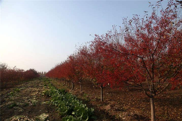 盛世绿源海棠8秋景