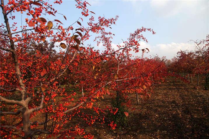 盛世绿源海棠12秋景