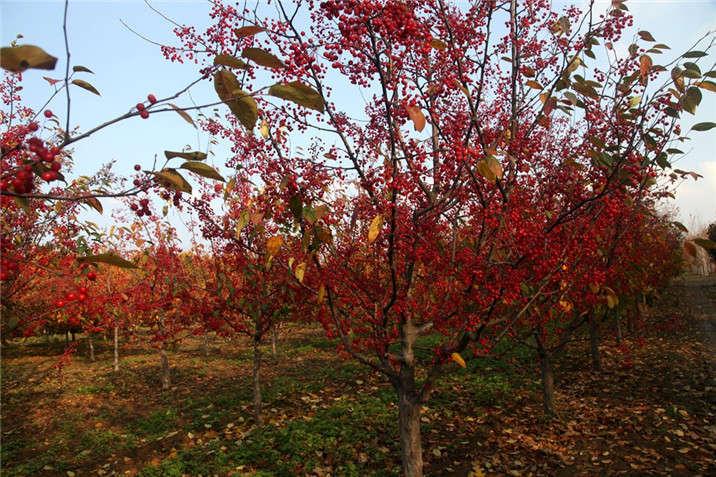 盛世绿源海棠14秋景