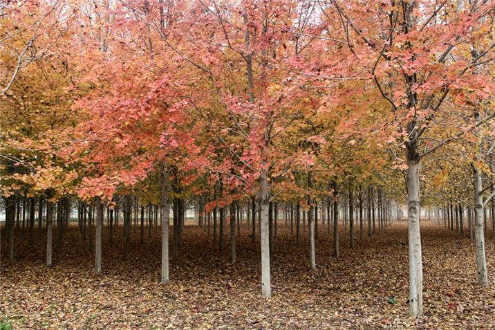 盛世绿源红枫1秋景