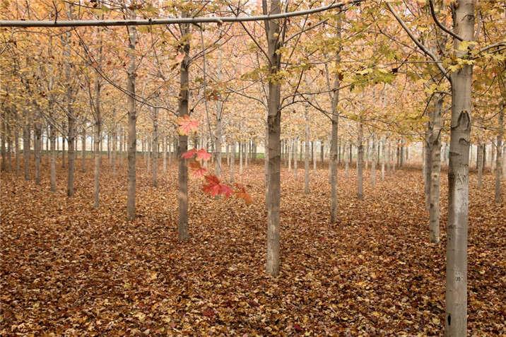 盛世绿源红枫3秋景
