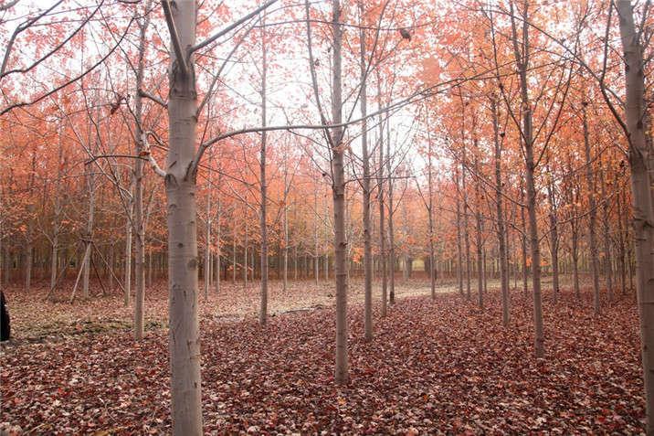 盛世绿源红枫4秋景