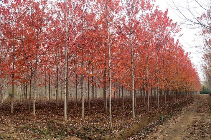 盛世绿源红枫6秋景