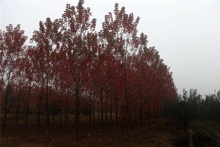 盛世绿源红枫8秋景