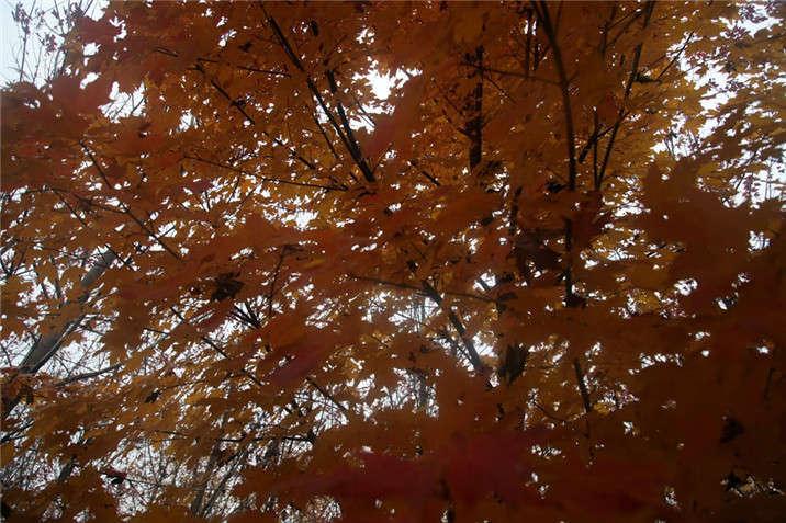 盛世绿源红枫12秋景