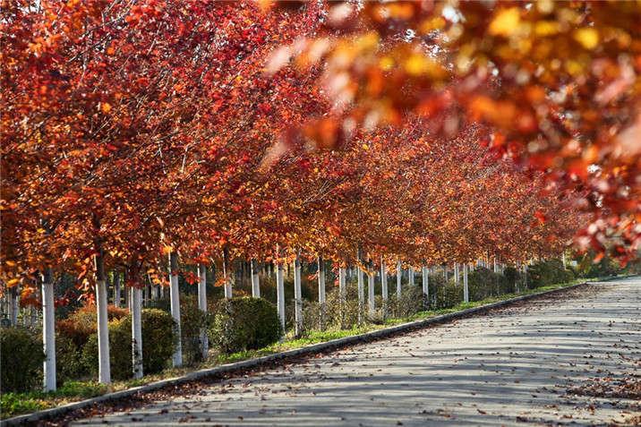 盛世绿源红枫14秋景