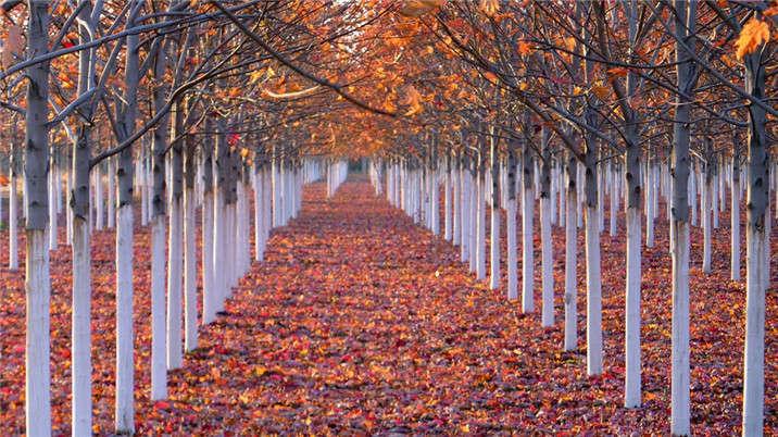 盛世绿源红枫16秋景