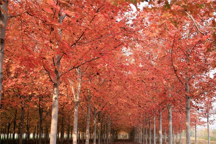 盛世绿源红枫21秋景
