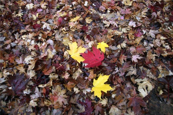 盛世绿源红枫叶2秋景