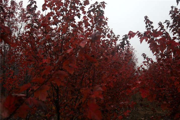 盛世绿源红花槭3秋景