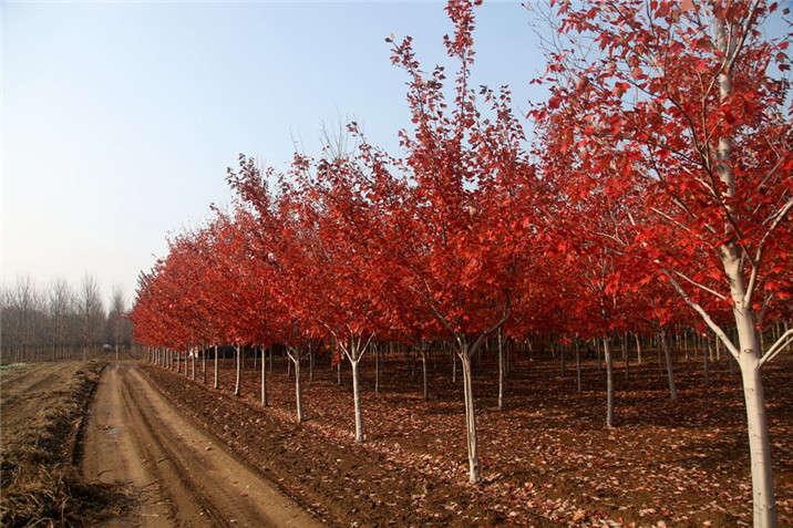 盛世绿源红花槭4秋景