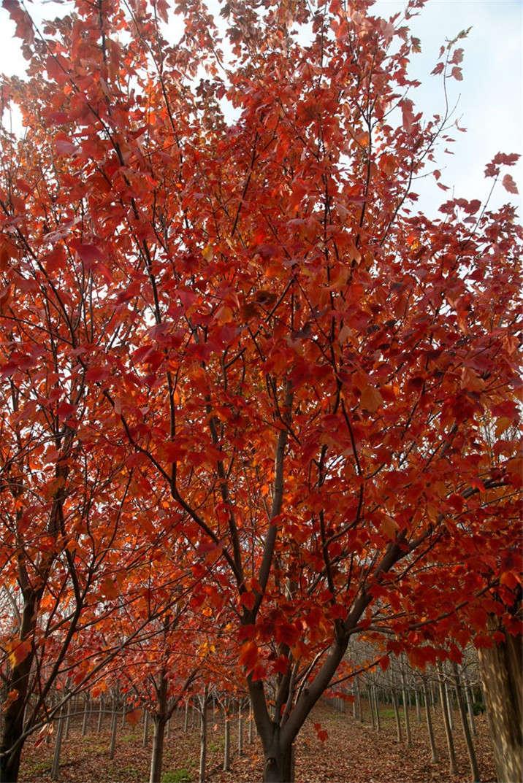 盛世绿源红花槭5秋景