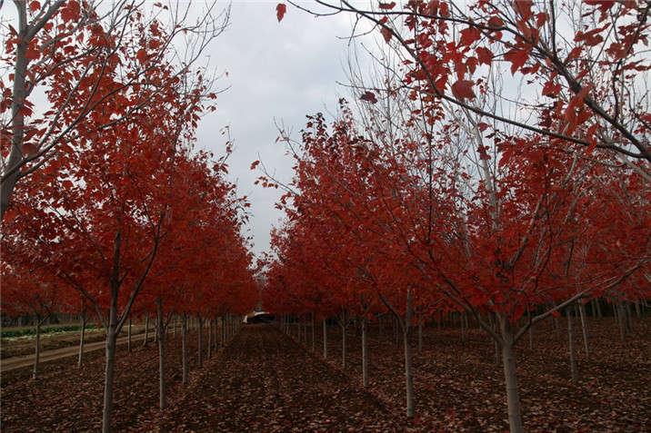 盛世绿源红花槭7秋景