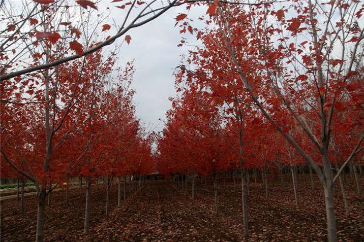 盛世绿源红花槭8秋景