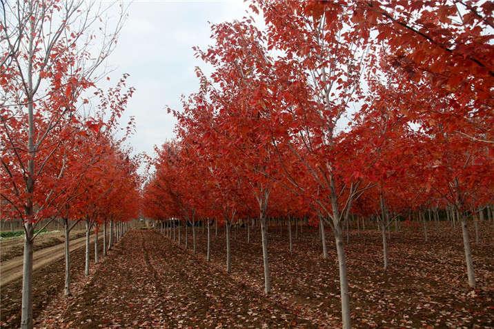 盛世绿源红花槭9秋景