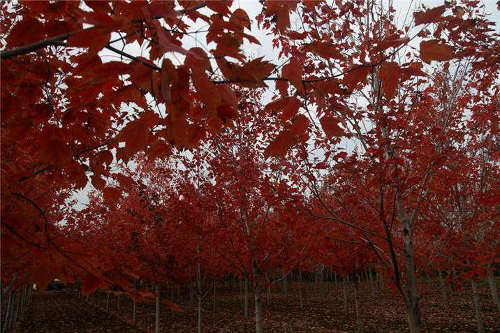 盛世绿源红花槭11秋景