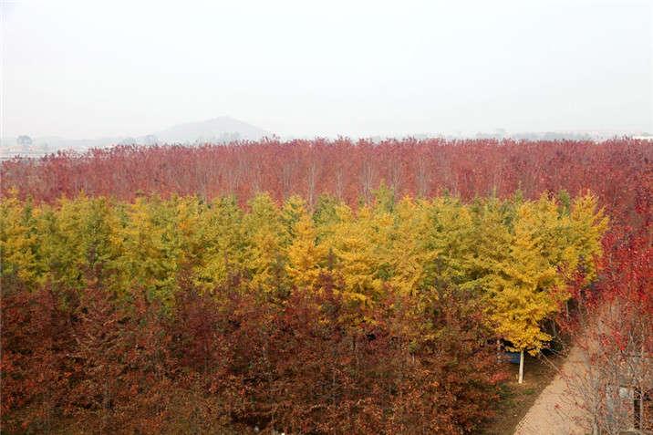 盛世绿源红栎、银杏、红枫秋景
