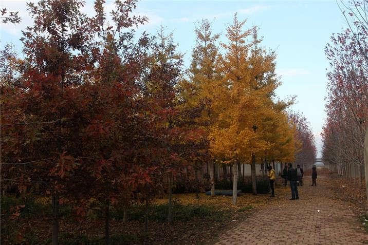 盛世绿源红栎、银杏秋景
