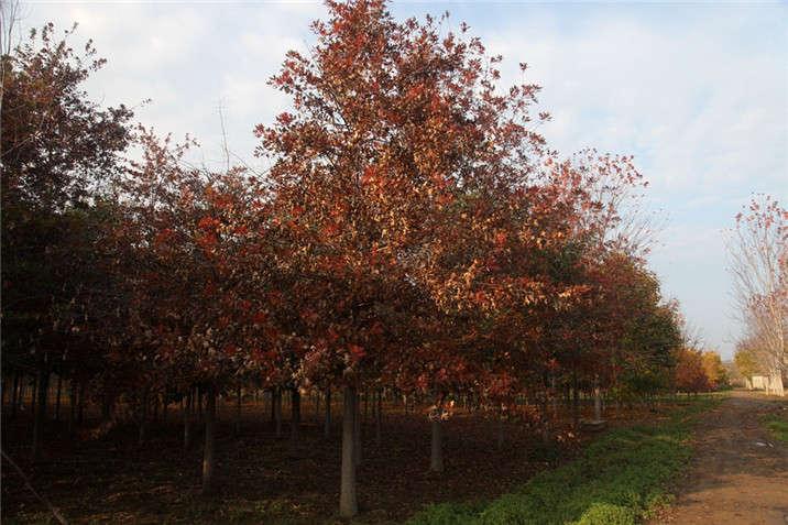 盛世绿源红栎2秋景
