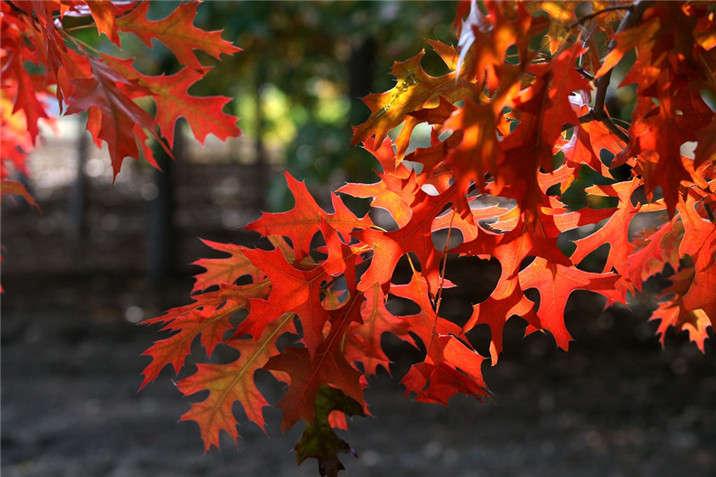 盛世绿源红栎4秋景