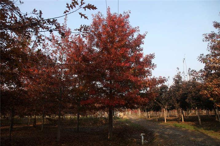 盛世绿源紅栎1秋景