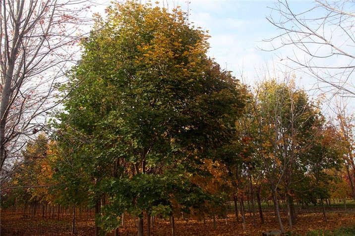 盛世绿源挪威槭8秋景