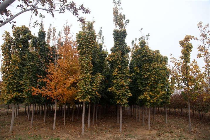 盛世绿源挪威槭绿秋景柱