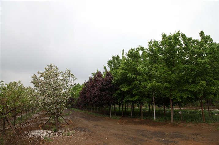 盛世绿源海棠、红国王、挪威槭春景