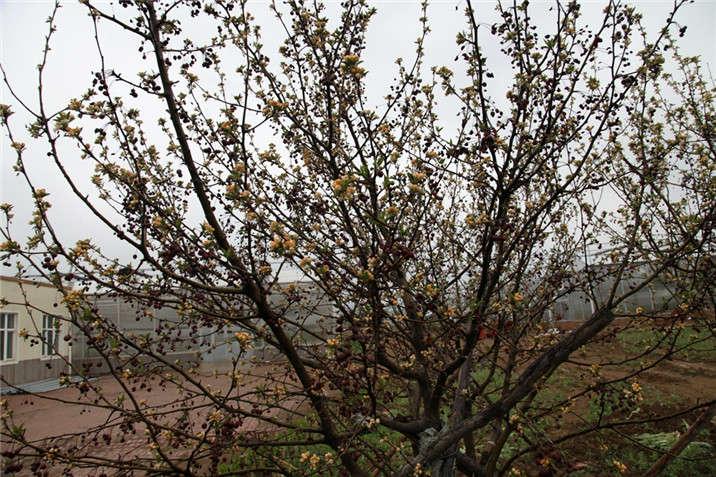 盛世绿源海棠1春景