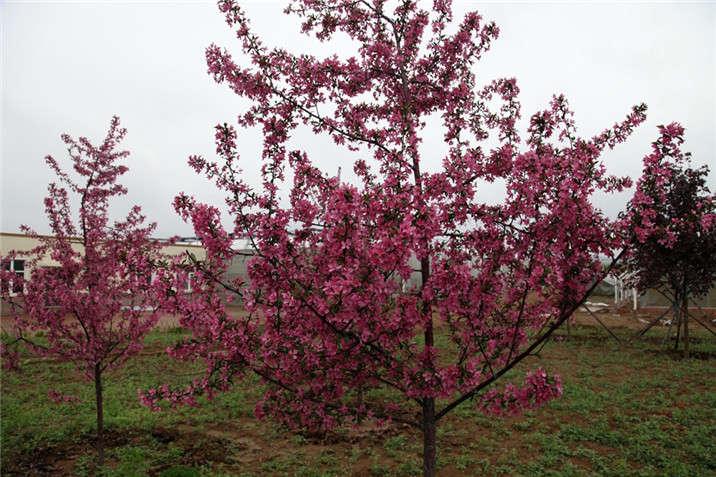 盛世绿源海棠4春景