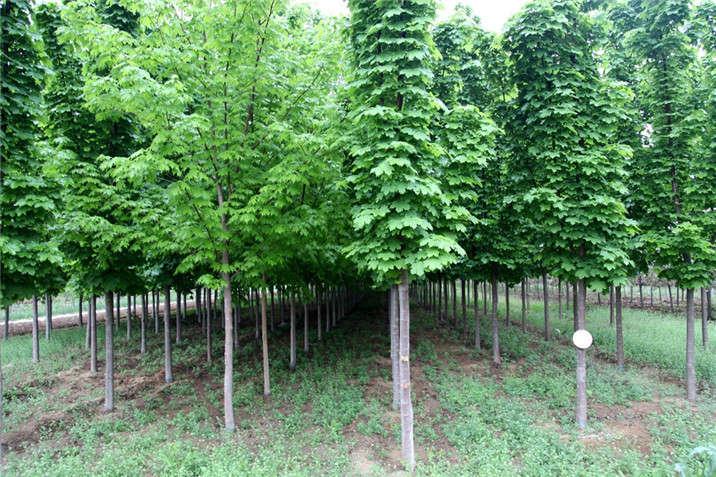 盛世绿源挪威槭绿柱2春景
