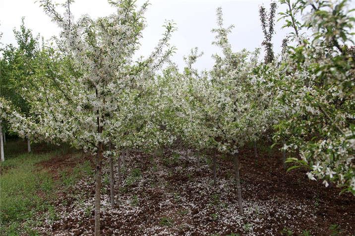 盛世绿源海棠8春景