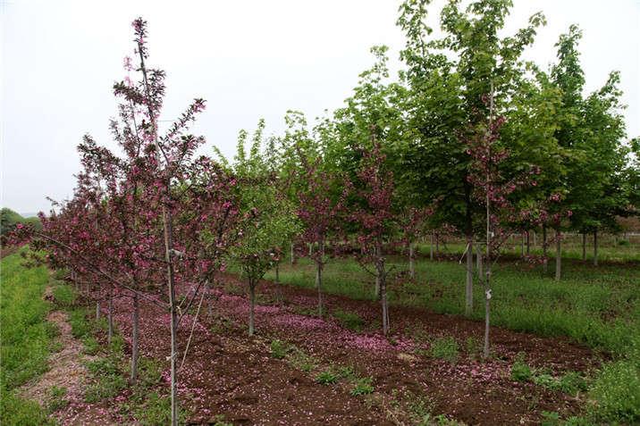 盛世绿源海棠9春景