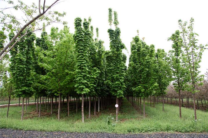盛世绿源挪威槭绿柱3春景