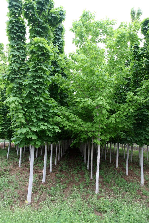 盛世绿源挪威槭绿柱4春景