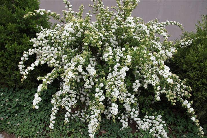 盛世绿源珍珠绣线菊春景